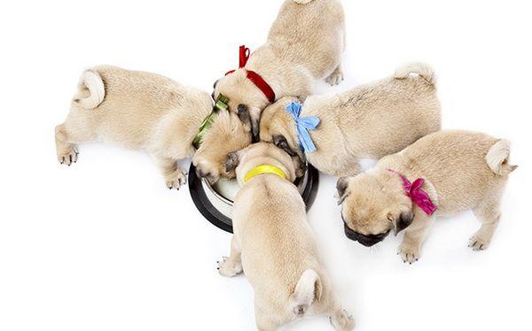 Не стоит кормить всех щенков из одной миски