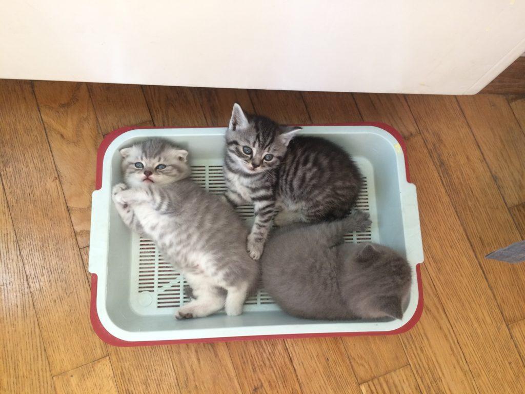 Не удивляйтесь, если первое время котята будут использовать лоток не по назначению