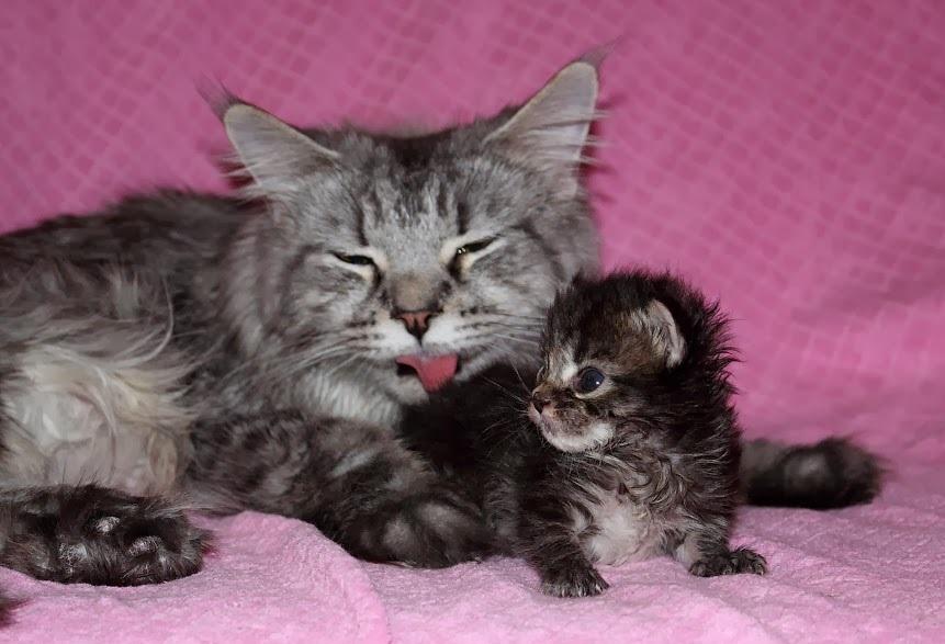 Облизывание является признаком принятия котенка кошкой