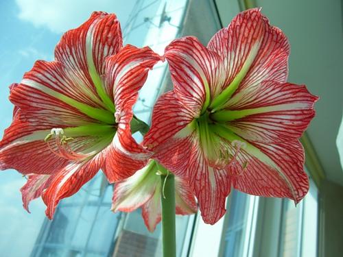 Оттенок цветков гипеаструма варьируется от алого до темно-малинового