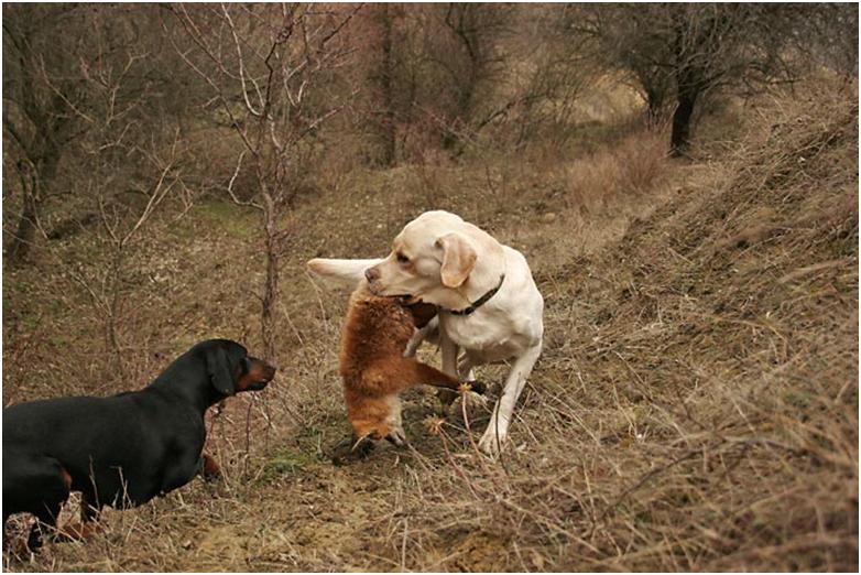 Охота на диких животных, в зараженной бруцеллой зоне, может привести к инфицированию собаки