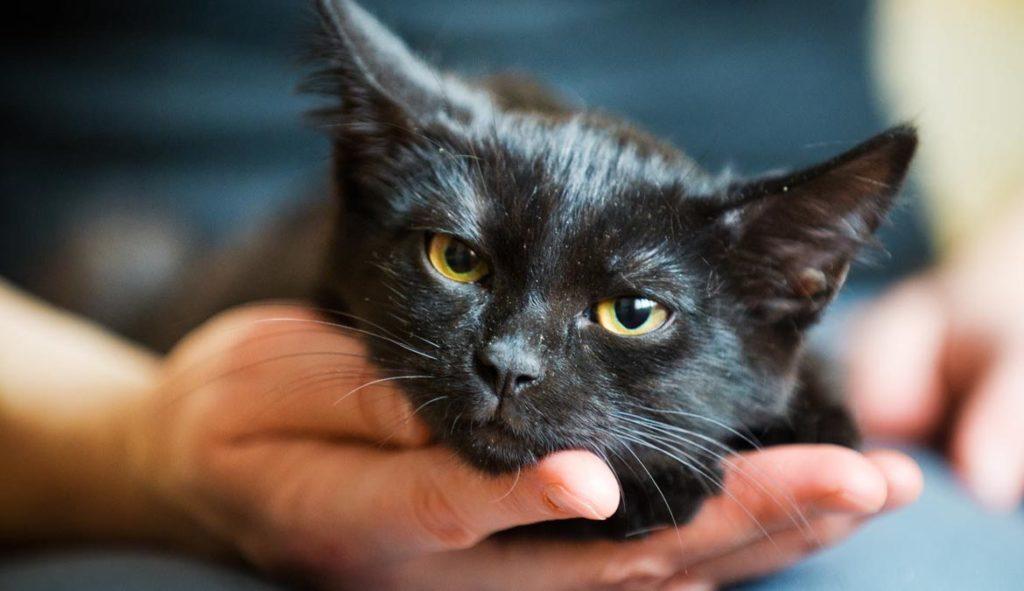 Передается ли лишай от кошек человеку
