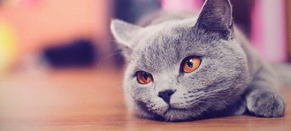 Перепады настроения могут сигнализировать о ложной беременности кошки