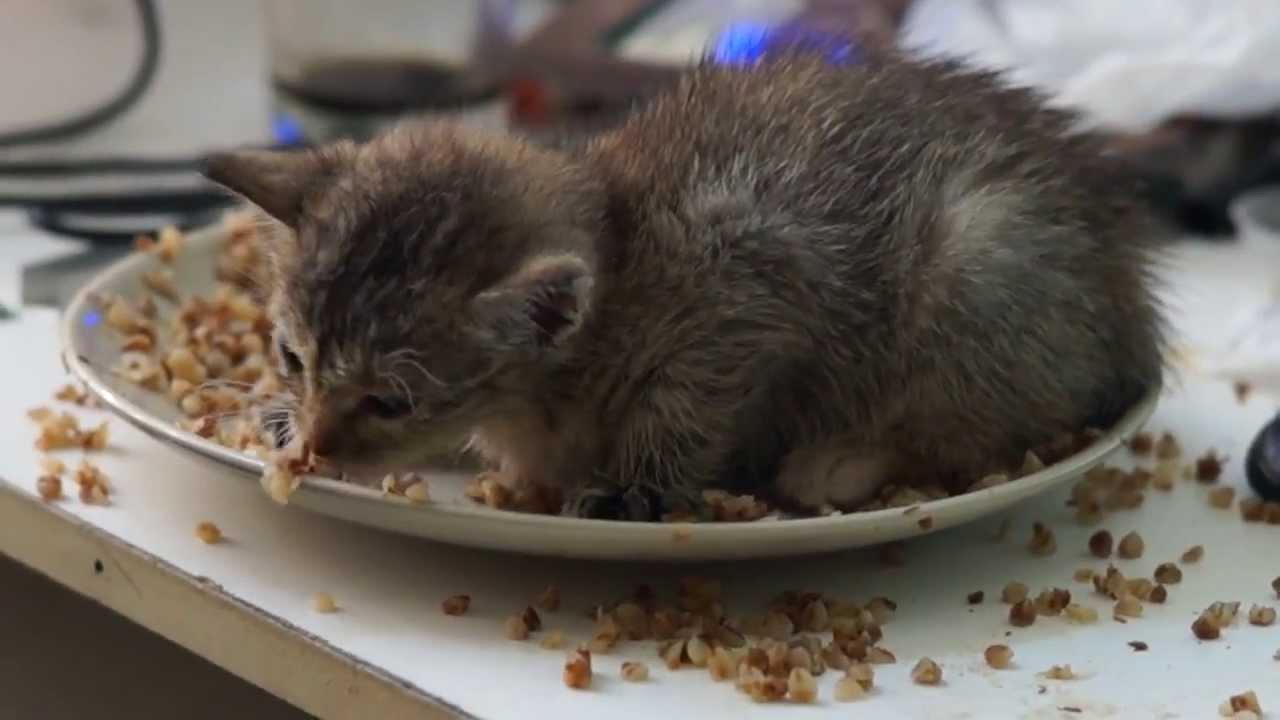 Переход от материнского молока к сухим кормам является стрессом для ЖКТ котенка