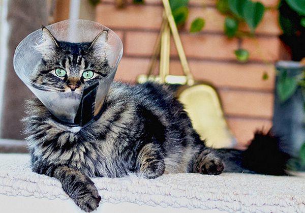 Послеоперационный воротник на кошке