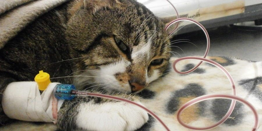 После проведения катетеризации, кот обязательно должен пройти восстановительные процедуры