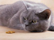 Потеря аппетита у кошки