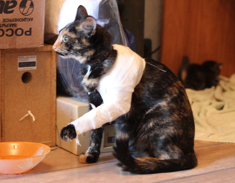 По окончанию операции коту накладывается гипс, фиксирующий конечность