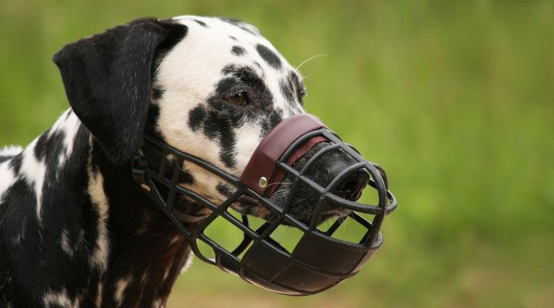 Привыкание к наморднику дается собакам непросто