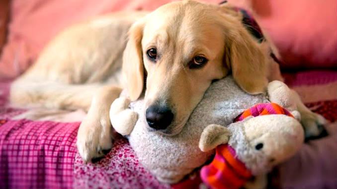 Признаки при ложной щенности такие же, как и при нормальной беременности собаки