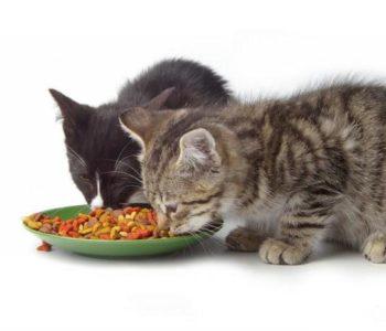 Приучать котенка к новой пище нужно постепенно