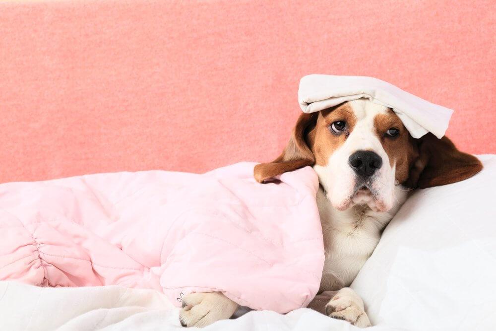 При обнаружении недомогания собаку необходимо отвести в ветлечебницу