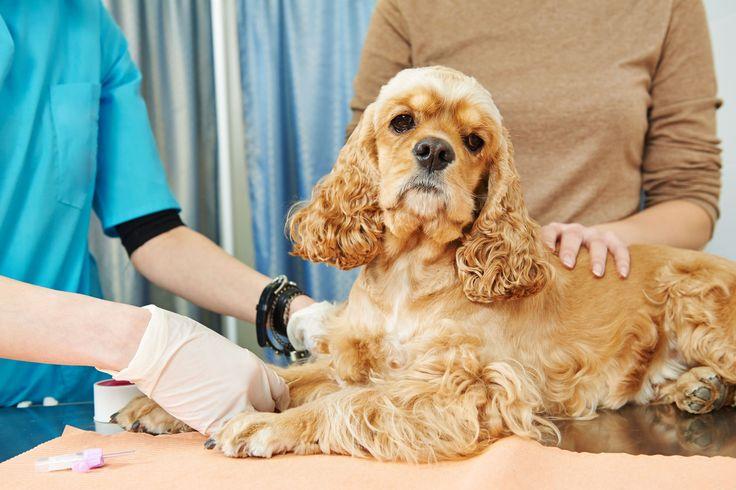 При подозрении на наличие болей у собаки обратитесь к ветеринару