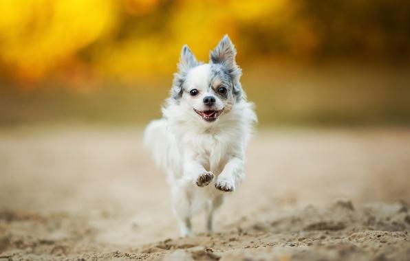 Прогулки маленьким собачкам необходимы
