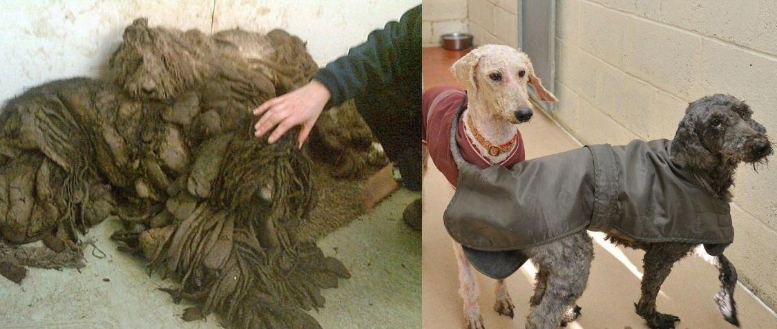Пудели из Винчестера (до и после стрижки)