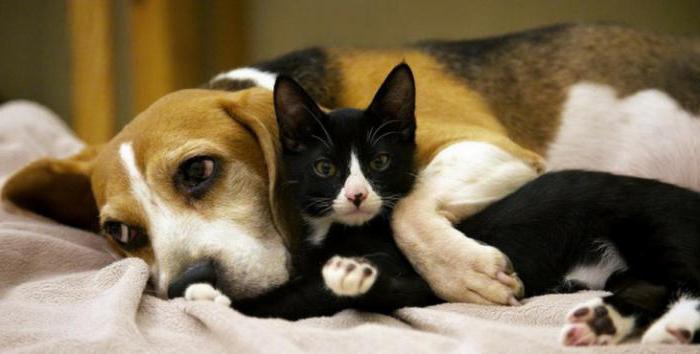 Разность в темпераментах усложняет сближение кота и собаки