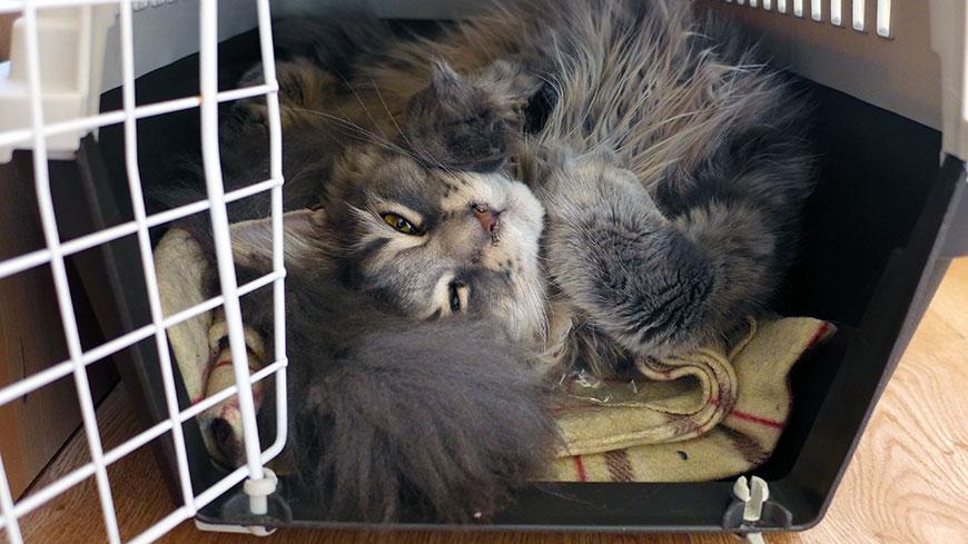 Редкие коты относятся к путешествиям с воодушевлением