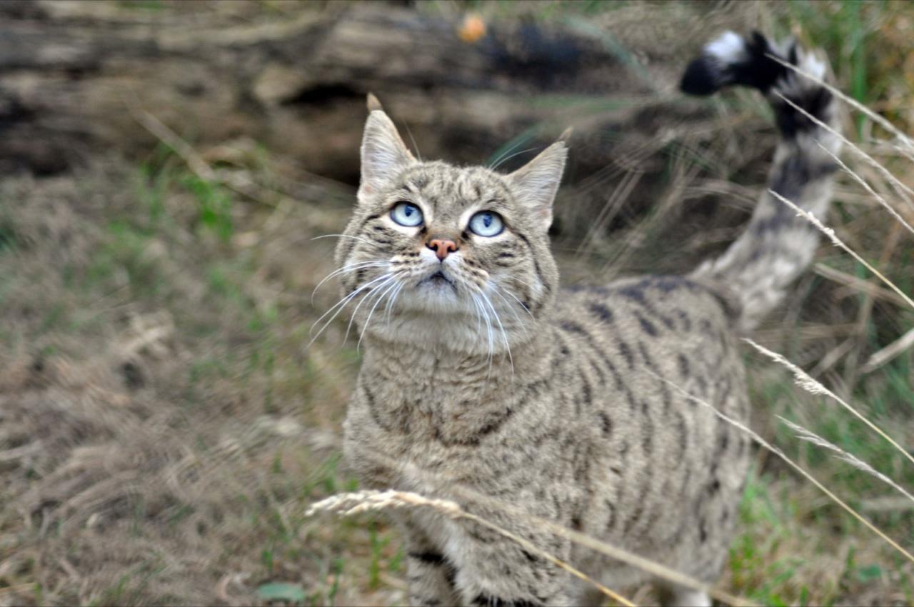 Рисунок на кошках появился на животных с целью самозащиты и маскировки