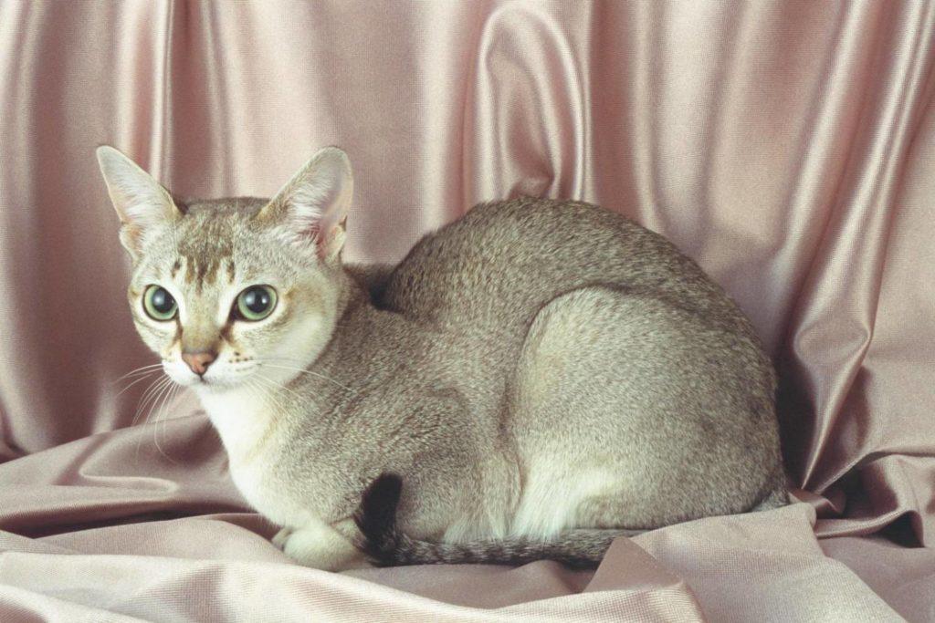 Сингапурская кошка окраса табби