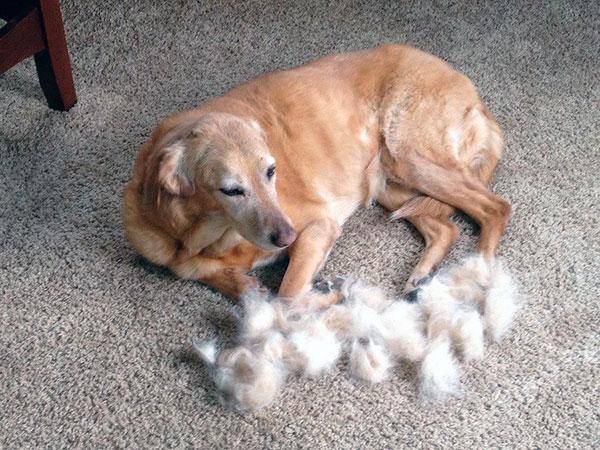 Смена шерсти происходит два раза в год