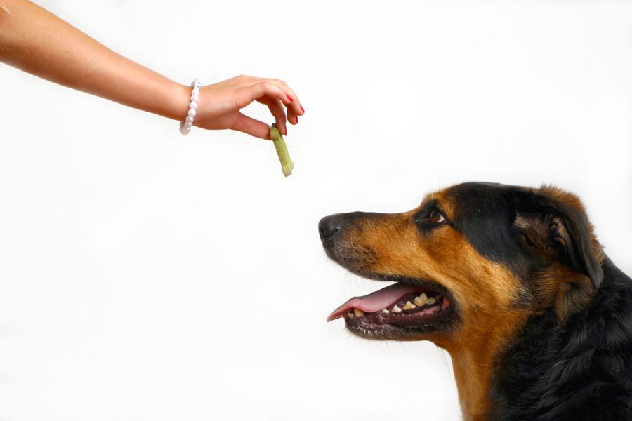 Собака должна с детства получать лакомство только из рук хозяина, чтобы выработать соответствующую привычку