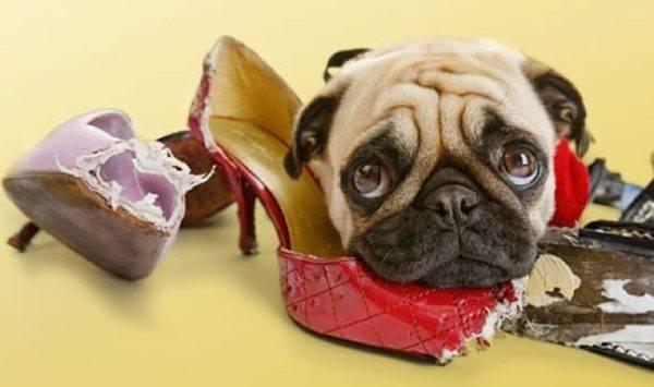 Состояние зубов собак ухудшается, если они грызут неподходящие предметы