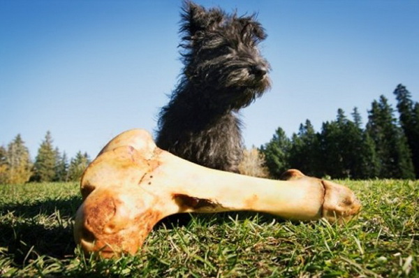 Спустя несколько попыток дотянуться до заветного трофея, щенок теряет интерес к нему