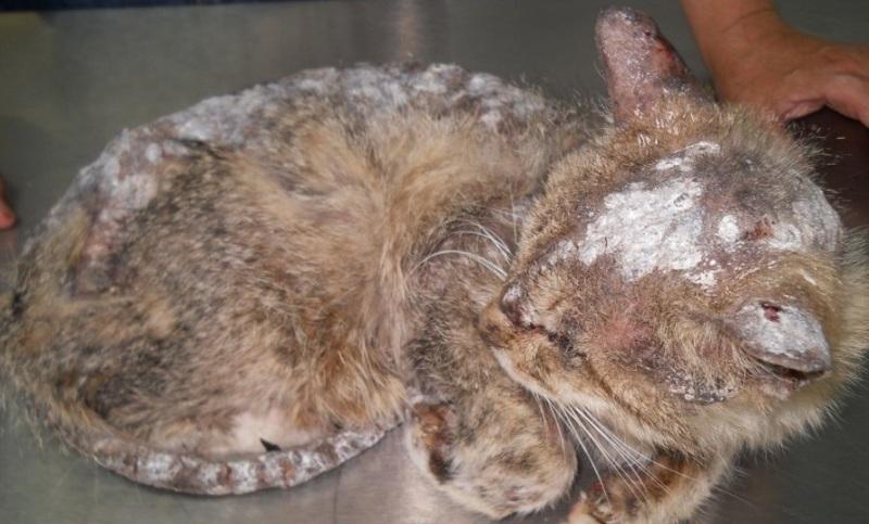 Стригущий лишай у кошки в запущенной форме