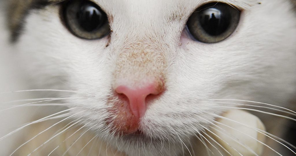 Стригущий лишай у кошки на мордочке