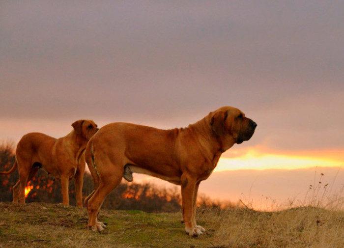 Только при правильном кормлении собака будет жить долго и будет иметь крепкий иммунитет