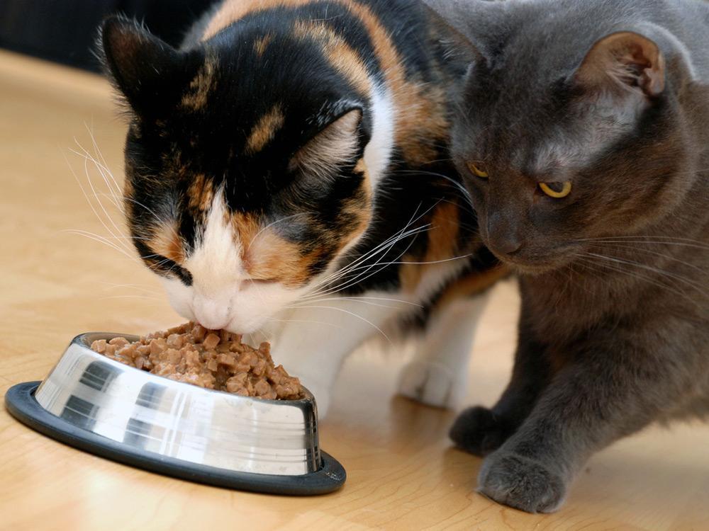 Только хозяин может обеспечить коту питание, способствующее улучшению самочувствия