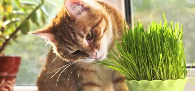 Трава, предназначенная специально для котов, без труда приобретается в любом ближайшем зоомагазине