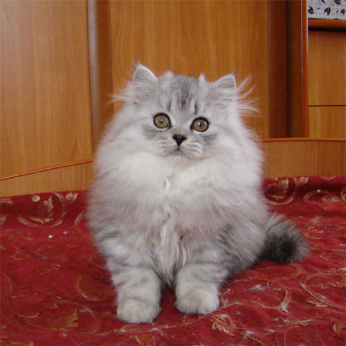 Ухоженный котёнок хайленд-страйт