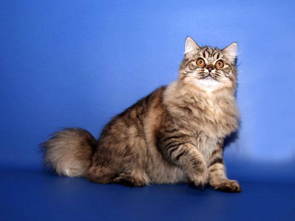 Цвет глаз у кошки соответствует цвету шерсти