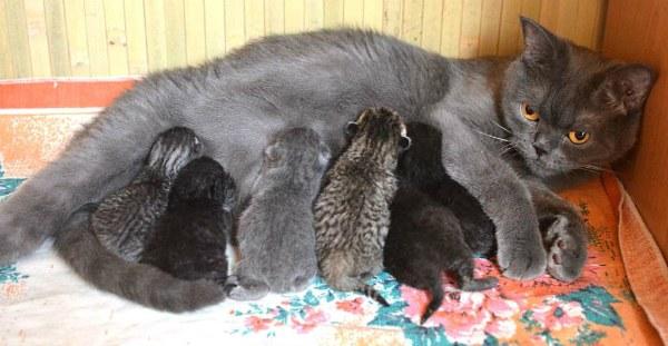 Частота кормлений зависит от числа котят