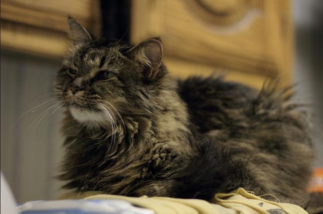 Чаще всего липома появляется у кошек старше девяти лет