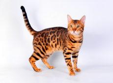 Чем кормить бенгальских котят