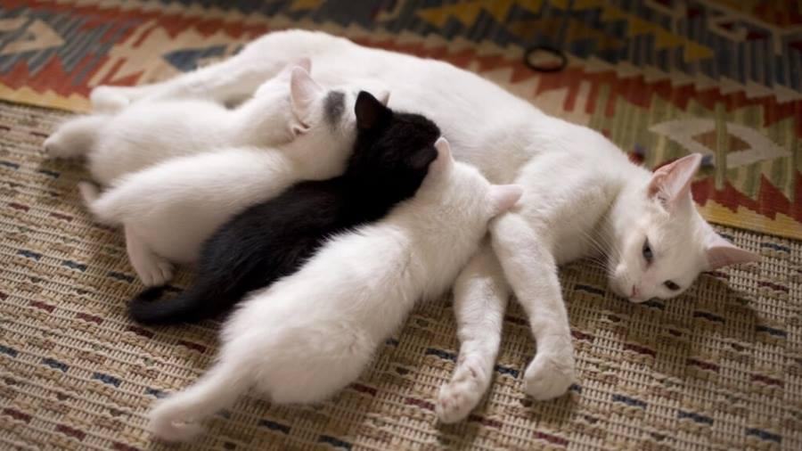 Чтобы ускорить восстановление окотившейся кошки следите за тем, чтобы ей хватало пищи и воды