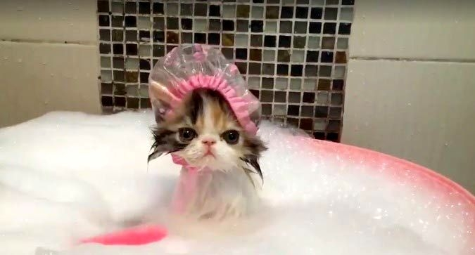 Чтобы уши кота не воспалялись после намокания, нужно использовать шапочку