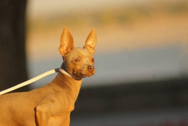 Выгул на улице лучше осуществлять на поводке, чтобы собаке не причинили вред посторонние люди, питомцы, машины