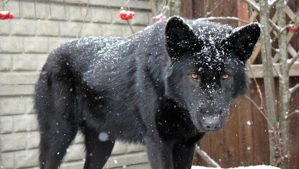 Черный волкособ