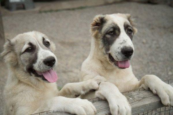 Щенок алабая и взрослый пес