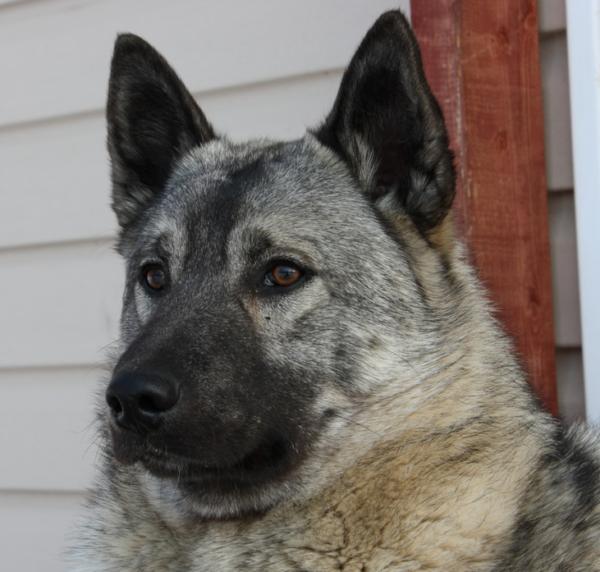 Ясный взгляд, чистые уши, блестящая шерсть — показатели хорошего здоровья элкхаунда