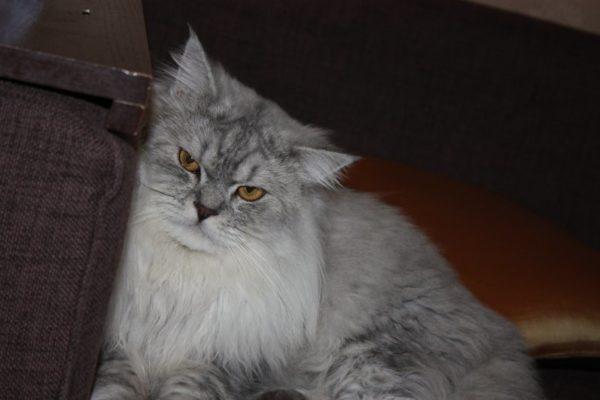 Ленивый взрослый кот породы хайленд-страйт