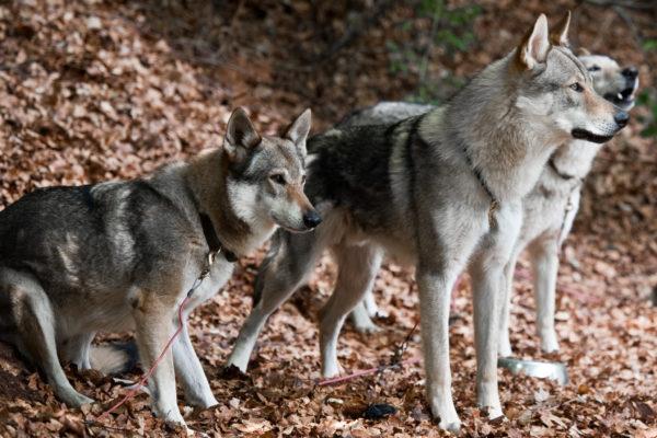 Впервые вывести гибрид собаки и волка попытались еще в далеком XIV веке