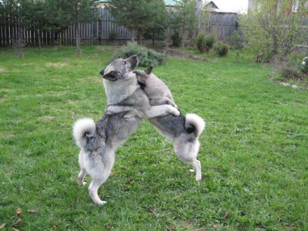 Собаки играют во дворе