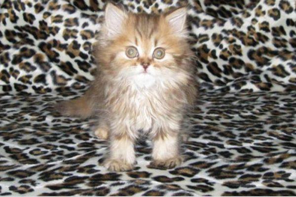 Очаровательный котёнок хайленд-страйт