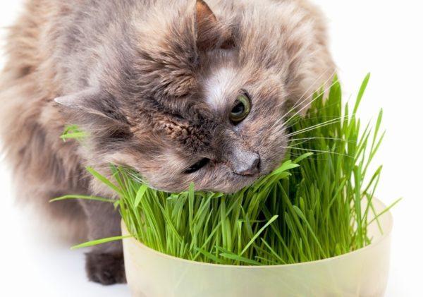 Поедание кошачьей травки