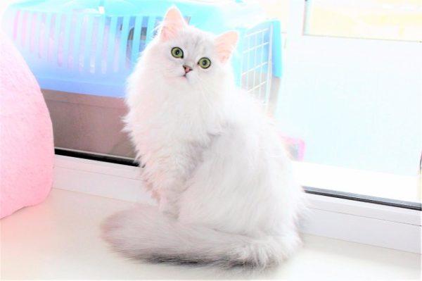 Красавица кошка породы хайленд-страйт