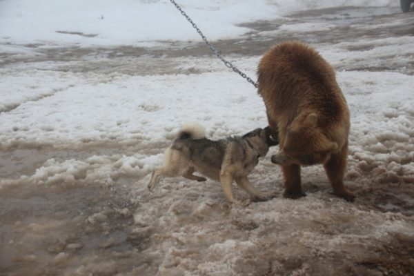 Натаскивание молодого элкхаунда на медведя